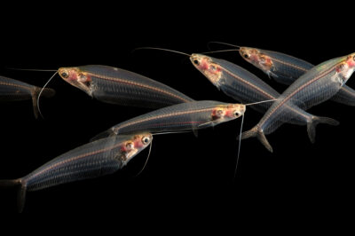 Photo: Seven glass catfish (Kryptopterus bicirrhis) at the Medicine Park Aquarium and Natural Sciences Center in Medicine Park, OK.