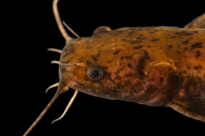 Photo: A juvenile flathead catfish (Pylodictis olivaris) at the Center for Aquatic Mollusk Programs in Lake City, Minnesota.