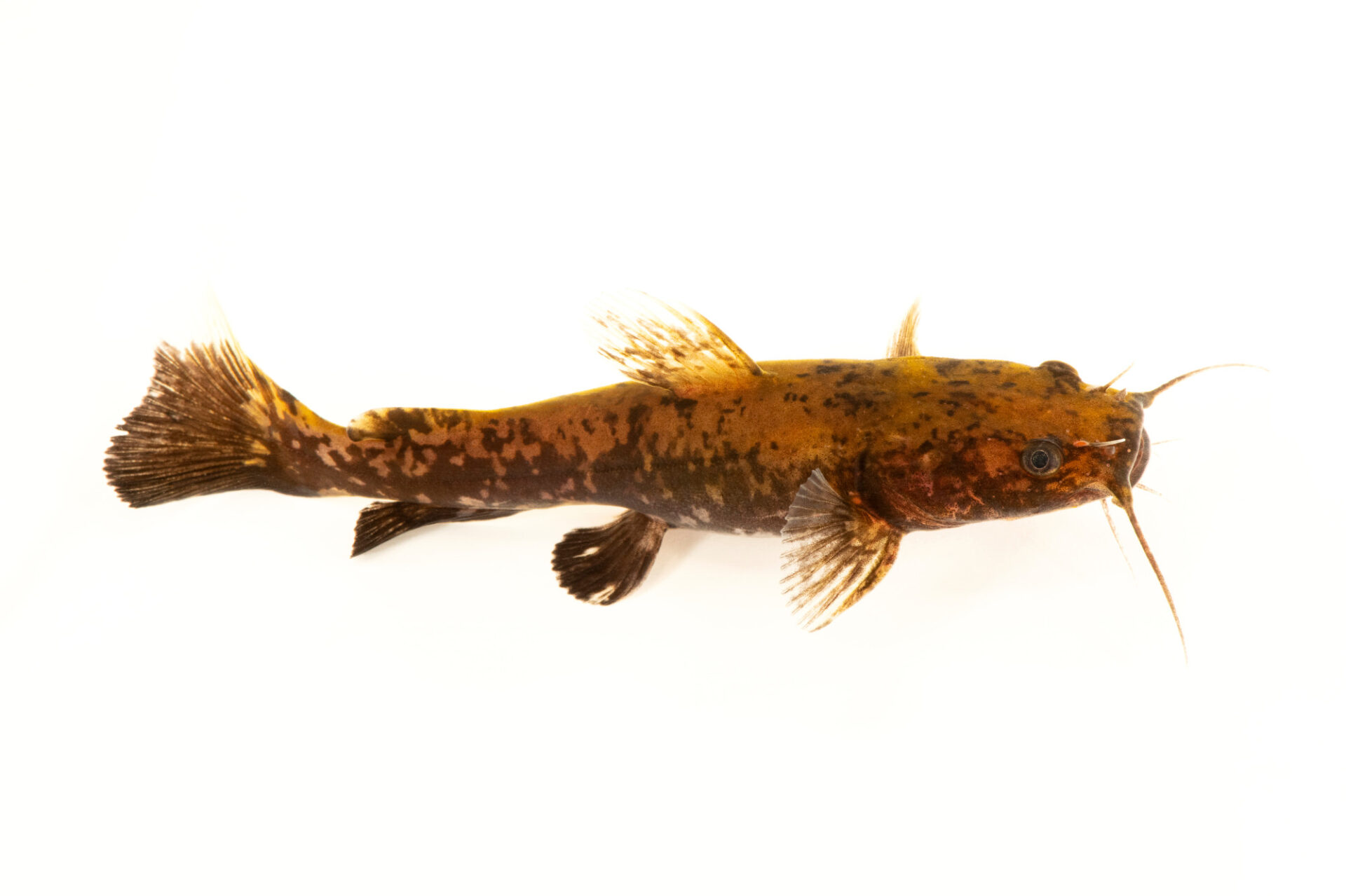 Photo: A juvenile flathead catfish (Pylodictis olivaris) at the Center for Aquatic Mollusk Programs in Lake City, Minnesota.