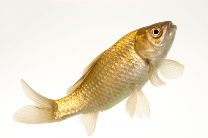 Photo: A gibel carp (Carassius gibelio) at Ocean Park in Hong Kong.