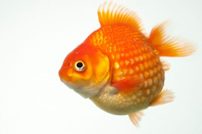 Photo: A red pearlscale, a fancy breed of goldfish at Ocean Park in Hong Kong.