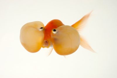 Photo: A red bubble eye, a fancy breed of goldfish at Ocean Park in Hong Kong.