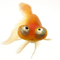 A red celestial eye, a fancy breed of goldfish (Carassius auratus auratus) at Ocean Park in Hong Kong.