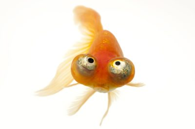 Photo: A red celestial eye, a fancy breed of goldfish at Ocean Park in Hong Kong.