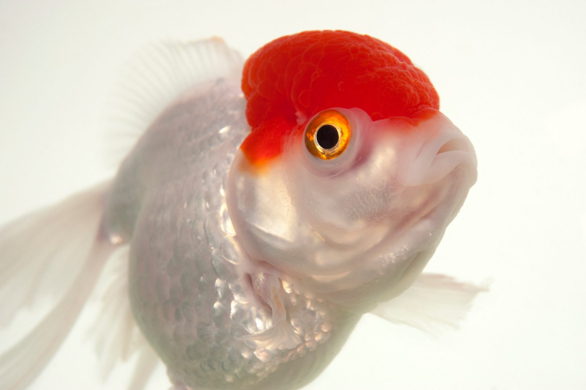 Photo: A red capped-oranda, a fancy breed of goldfish at Ocean Park in Hong Kong.