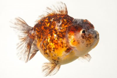 Photo: A tri-color ryukin, a fancy breed of goldfish at Ocean Park in Hong Kong.