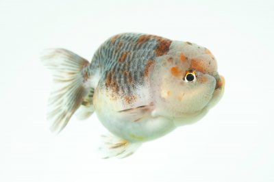 A tricolor ranchu goldfish (Carassius auratus auratus) at Ocean Park in Hong Kong.