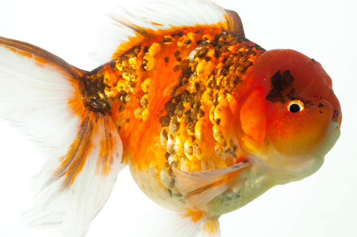 A red and black oranda goldfish (Carassius auratus auratus) at Ocean Park in Hong Kong.