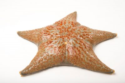 Photo: Leather sea star (Dermasterias imbricata) at the Boonshoft Museum of Discovery in Dayton, OH.