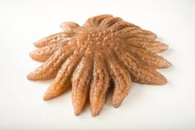 Picture of a sunflower sea star (Pycnopodia helianthoides) at the National Mississippi River Museum and Aquarium in Dubuque, Iowa.