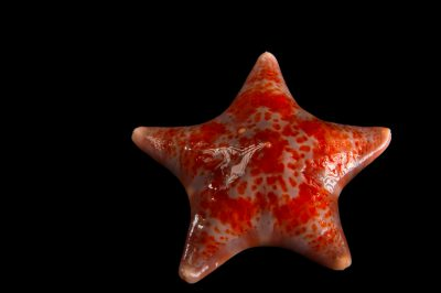 Photo: An unknown species of sea star at the National Mississippi River Museum and Aquarium in Dubuque, Iowa.