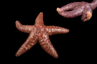 Picture of two false ochre sea stars (Evasterias troscheli) at the John Ball Zoo in Grand Rapids, Michigan.