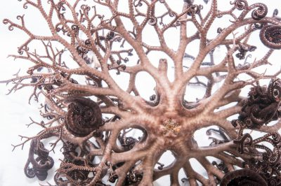 Picture of a basket star (Astrophyton muricatum) at Pure Aquariums from the Gulf Specimen Marine Lab.