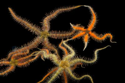 Picture of spiny brittlestars (Ophiothrix spiculata) at the REEF, at the University of California, Santa Barbara.