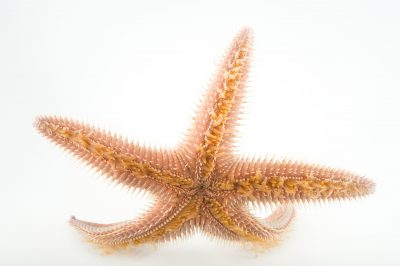 Picture of an armored sea star (Astropecten armratus) at the REEF, at the University of California, Santa Barbara.