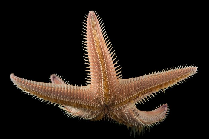 Picture of an armored sea star (Astropecten armratus) at the REEF, at the University of California, Santa Barbara.