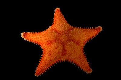 Photo: A spiny red sea star (Hippasteria phrygiana) at the Alaska SeaLife Center.