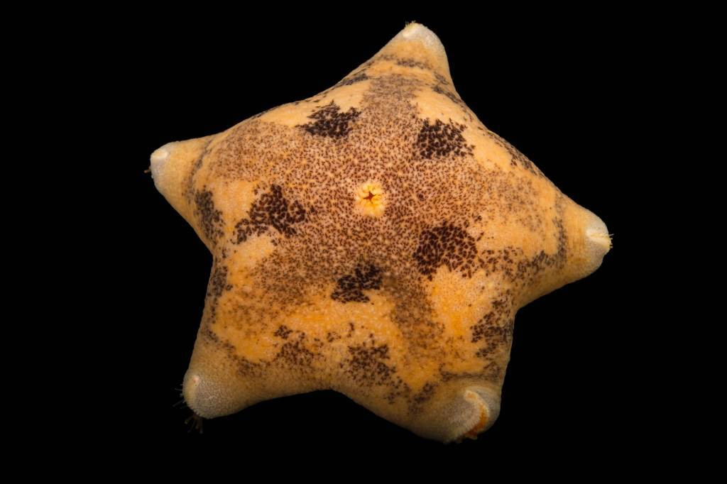 Picture of a cushion starfish (Pteraster tesselatus) at the Alaska SeaLife Center.