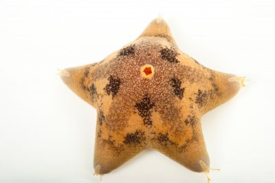 Picture of a cushion starfish (Pteraster tesselatus) at the Alaska SeaLife Center.