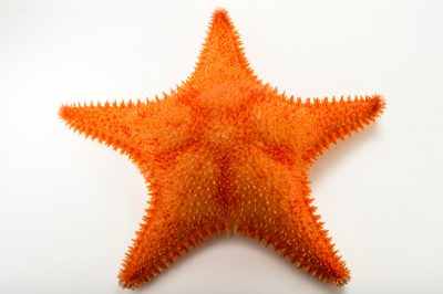 spiny red sea star images joel sartore