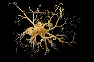 Photo: Basket star (Gorgonocephalus eucnemis) at the Alaska SeaLife Center in Seward, AK.