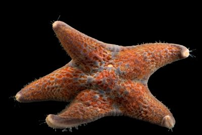 Photo: Leather star (Dermasterias imbricata) at Aquarium of the Pacific in Long Beach, CA.