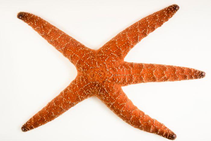 Photo: Ochre sea star (Pisaster ochraceus) at Aquarium of the Pacific in Long Beach, CA.