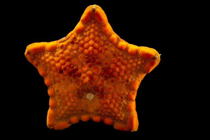 Photo: Biscuit Sea Star (Tosia australis) at Melbourne Zoo.