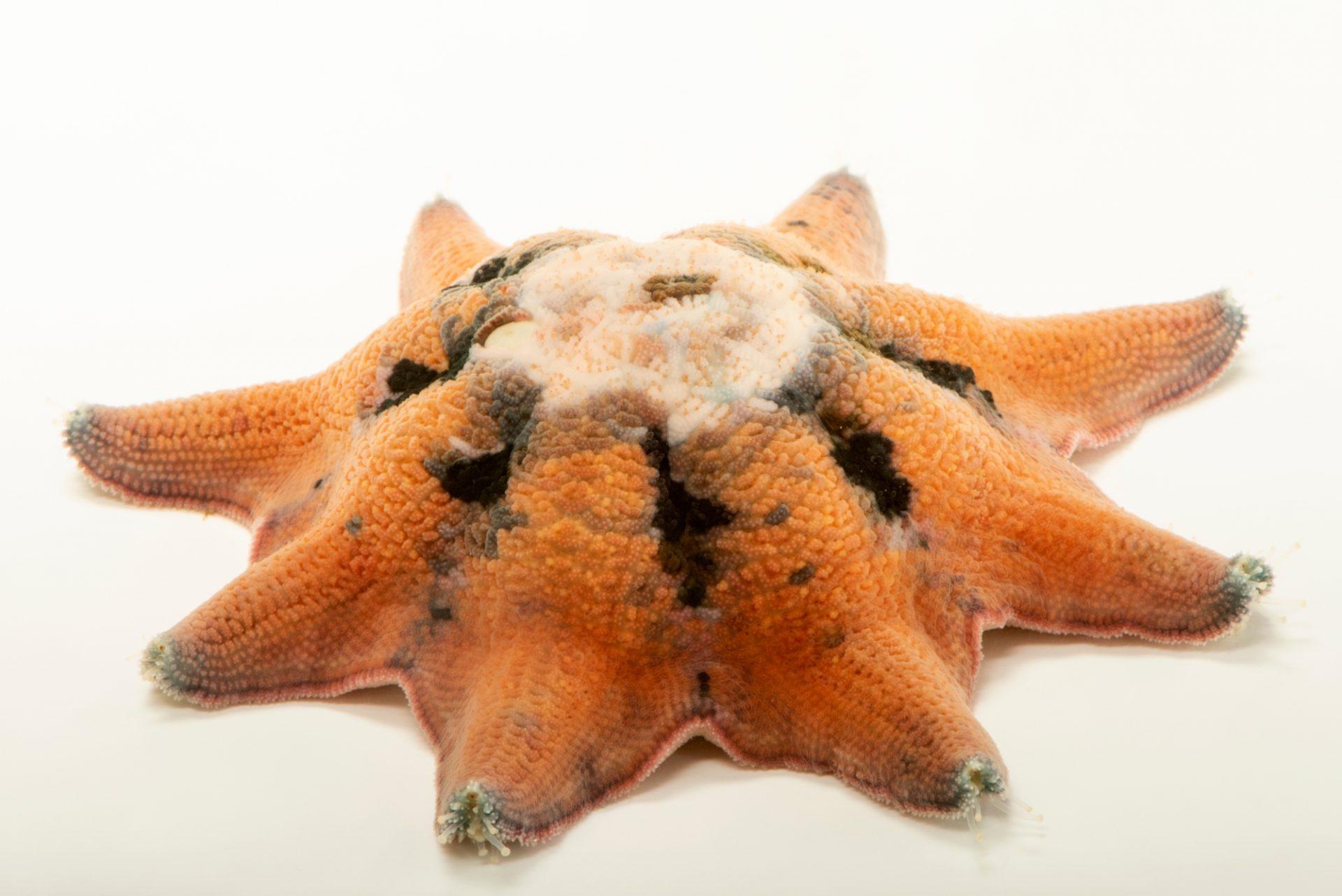 Photo: Spurred sea star (Meridiastra calcar) at Melbourne Zoo.