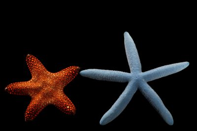 Photo: Two sea stars (Pentaster obtusatus) red, and (Linckia laevigata) blue, at Semirara Marine Hatchery Laboratory in the Philippines.