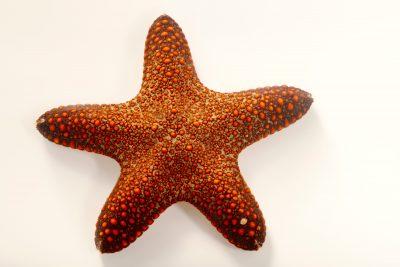 Photo: A sea star (Pentaster obtusatus) at Semirara Marine Hatchery Laboratory in the Philippines.