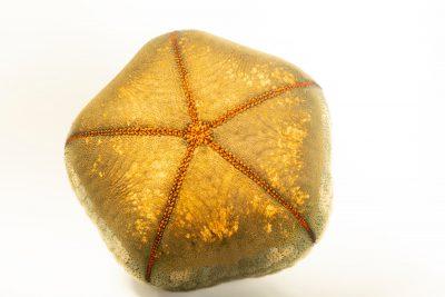 Photo: A cushion sea star (Culcita novaeguineae) at Semirara Marine Hatchery Laboratory in the Philippines.