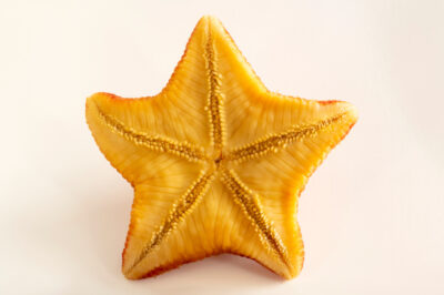 Photo: A badge star (Porania insignis) at the Maine State Aquarium in West Boothbay, ME.