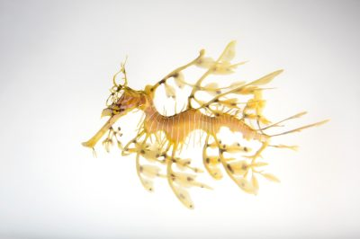 Picture of a leafy seadragon (Phycodurus eques) at the Dallas World Aquarium.