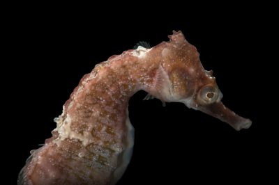 Photo: A whiteÕs seahorse, Hippocampus whitei, at Shark Reef Aquarium.