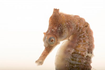 Photo: A whiteÕs seahorse, Hippocampus whitei, at Shark Reef Aquarium.