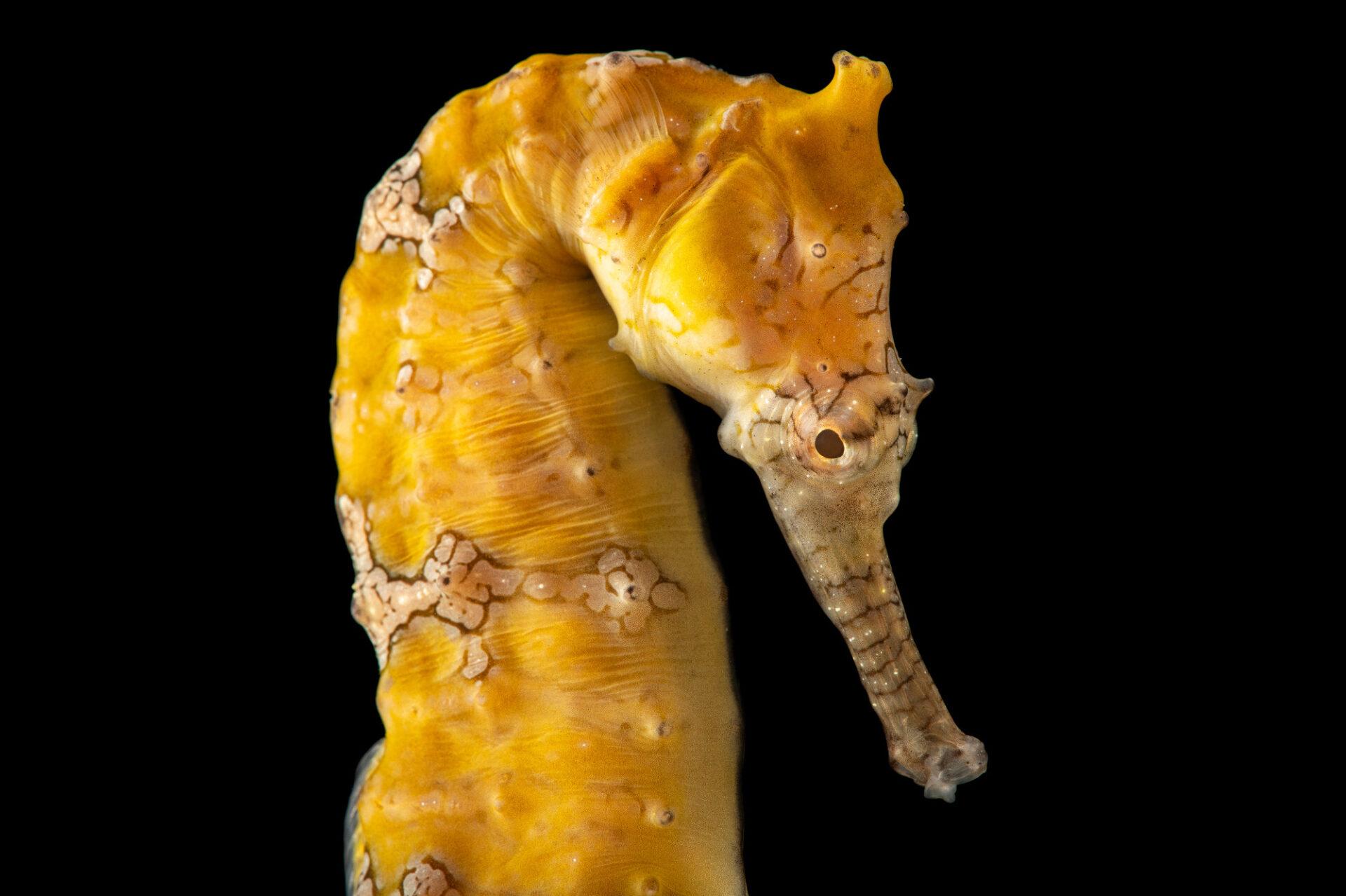 Photo: A West Australian seahorse (Hippocampus subelongatus) at Aquarium Berlin.