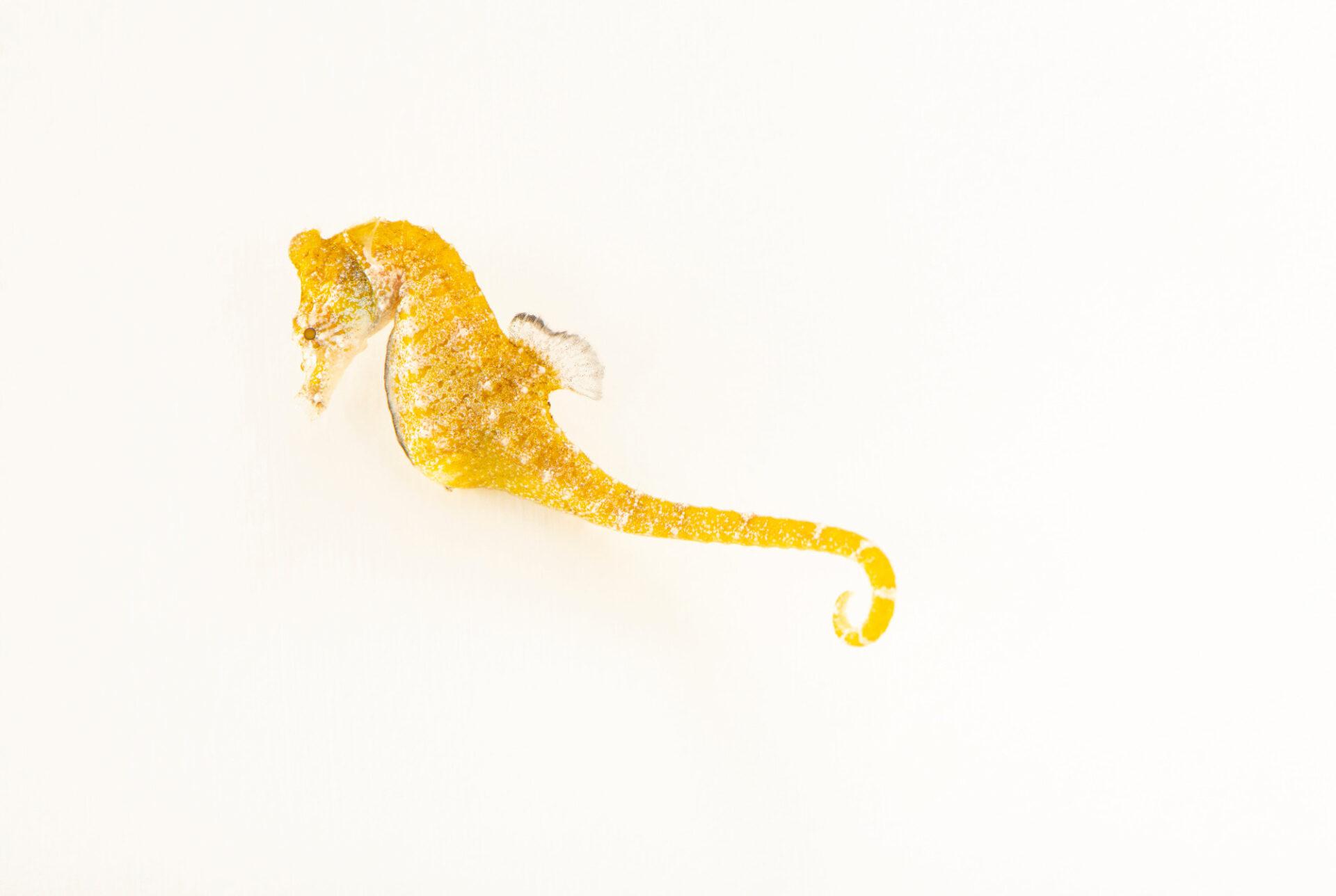 Photo: A dwarf seahorse (Hippocampus zosterae) at Aquarium Berlin.