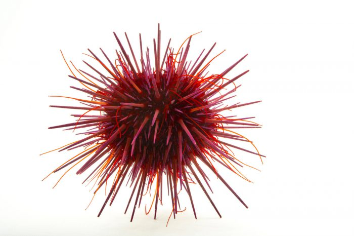 Picture of a purple sea urchin (Strongylocentrotus purpuratus) at Omaha's Henry Doorly Zoo and Aquarium.