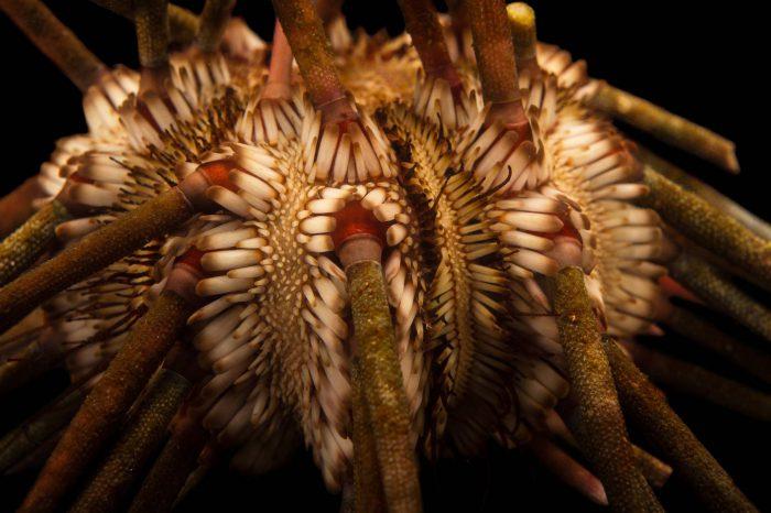 Picture of a Slate pencil urchin (Eucidaris tribuloides) at the Columbus Zoo.