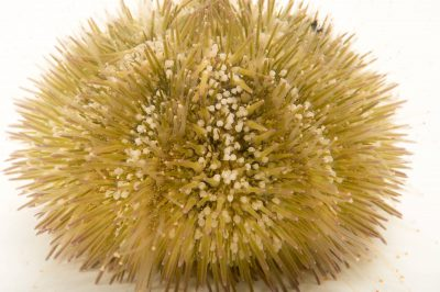 Picture of a variegated sea urchin (Lytechinus variegatus) at the Columbus Zoo.