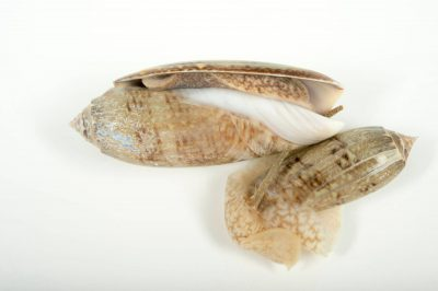 Picture of a lettered olive shells (Oliva sayana sayana) at Gulf Specimen Marine Lab and Aquarium.