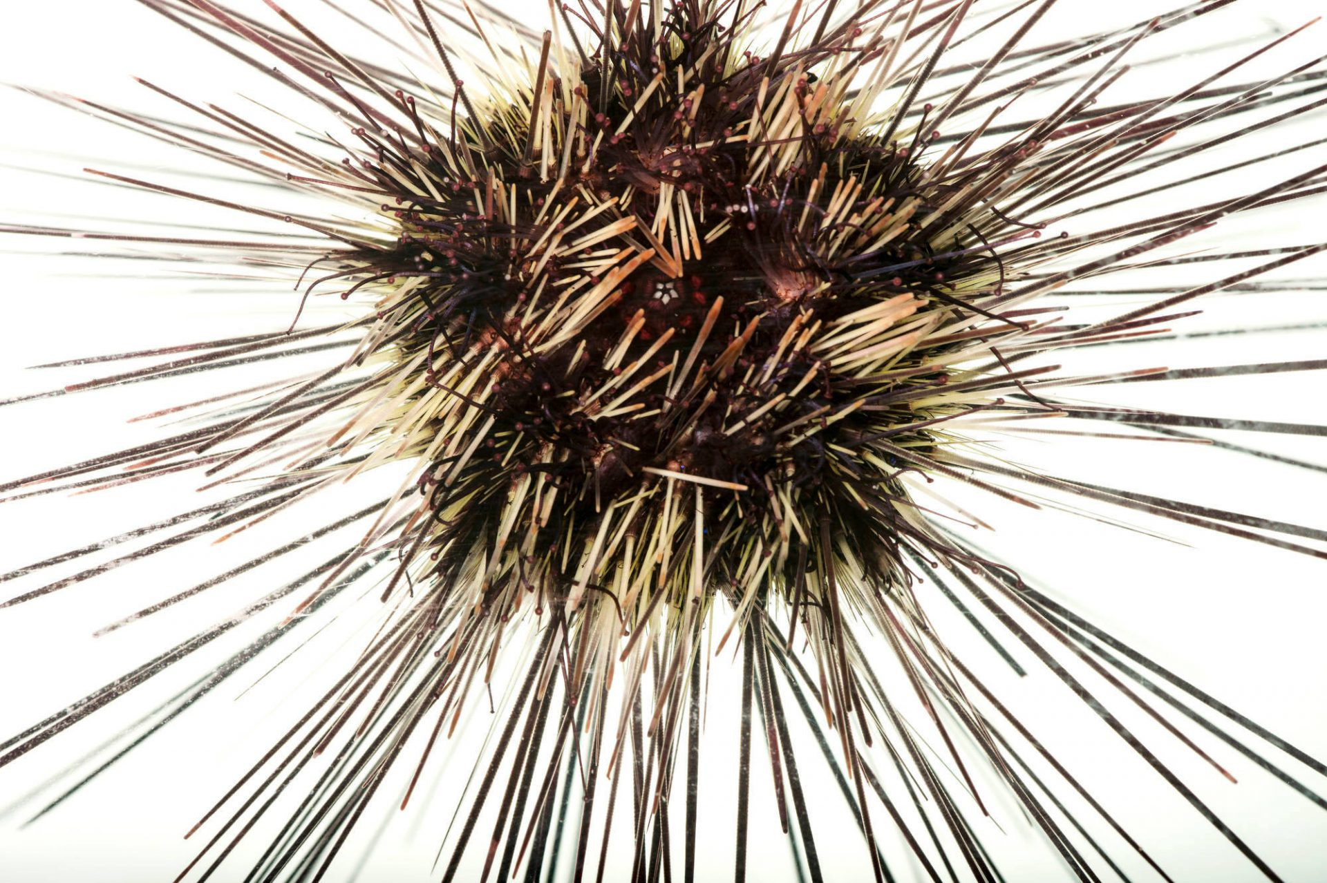 Picture of a long-spined sea urchin (Diadema setosum) at the John Ball Zoo in Grand Rapids, Michigan.