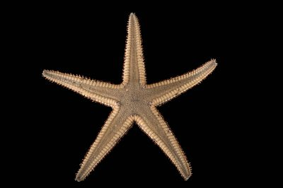 Picture of a royal starfish (Astropecten articulatus) at Gulf Specimen Marine Lab and Aquarium.