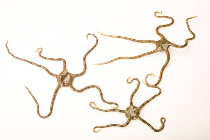 Picture of Brittle sea stars (Ophioderma brevispina) at Gulf Specimen Marine Lab and Aquarium.