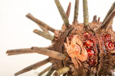 Picture of a black-fingered mud crab (Panopeus herbstii) crawling across a slate pencil urchin (Eucidaris tribuloides) at Gulf Specimen Marine Lab and Aquarium.