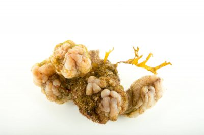 Picture of a sea squirt (Styela plicata) at Gulf Specimen Marine Lab and Aquarium.