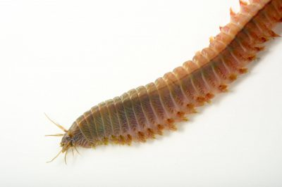 Picture of a ragworm (Hediste diversicolor) at Gulf Specimen Marine Lab and Aquarium.