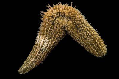 Picture of a striped sea cucumber (Thyonella gemmata) at Pure Aquariums from the Gulf Specimen Marine Lab.