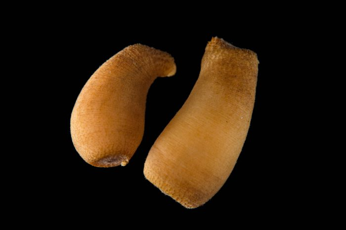 Picture of peanut worms (Themiste alutacea) at Pure Aquariums from the Gulf Specimen Marine Lab.